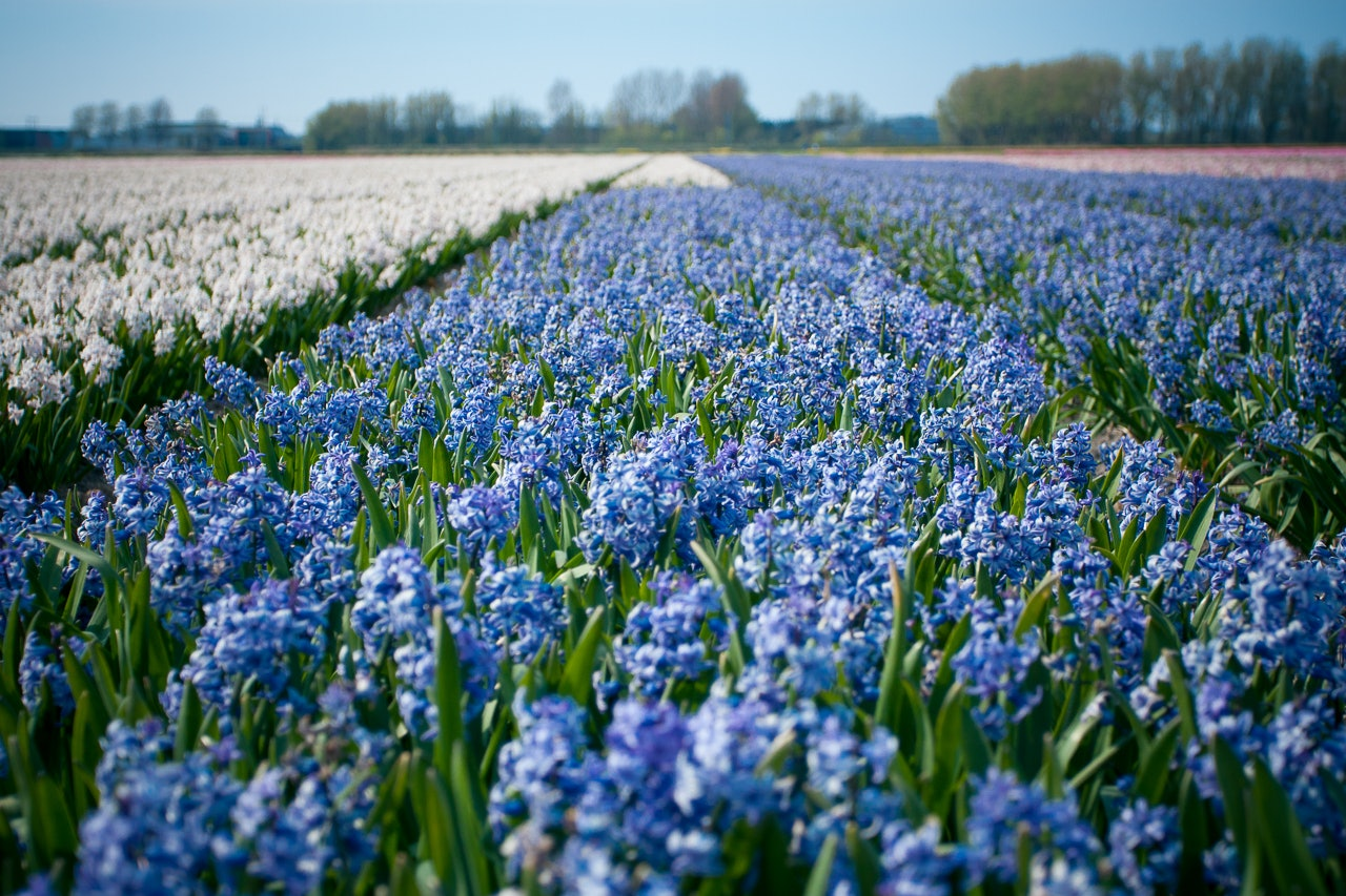 Keukenhof Flower Fields in Holland by Conscious by Chloé